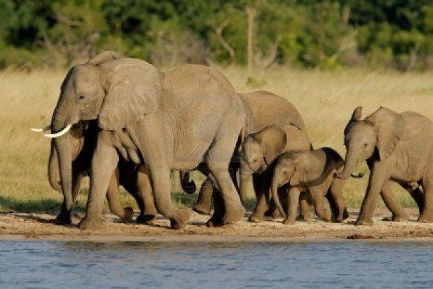 927020-mandria-di-elefanti-africani-loxodonta-africana-ad-una-waterhole-parco-nazionale-di-hwange-national-
